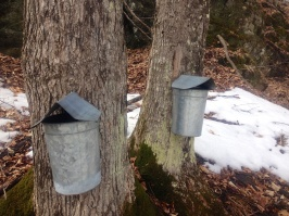 maple sugaring 4